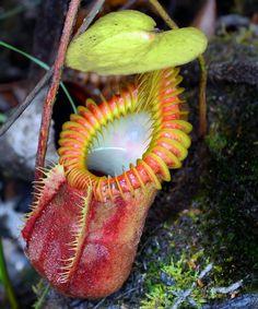 Nepenthes villosa Tambuyukon