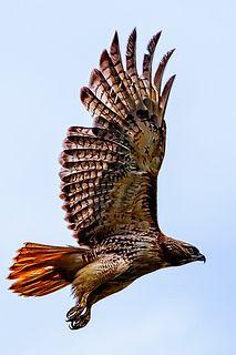 Red Tail Hawk Taking Off | por PapaDunes