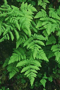 Gymnocarpium dryopteris - Oak Fern