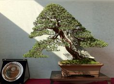 Oof! The combination of the light in the background and the #bonsai tree is smart. Great tree!    By: Mauro Stemberger