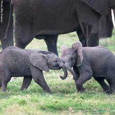 Baby elephants #elephants