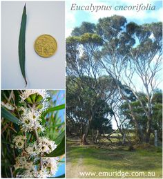 The Narrow-leaf Mallee (Eucalyptus cneorifolia) is the variety of Eucalyptus tree that sustainably grows and harvests for its famous Eucalyptus oil. was first true export overseas! Eucalyptus Oil Uses, Eucalyptus Tree, Kangaroo Island, Emu, Distillery, Harvest, Leaves, Landscape, Plants