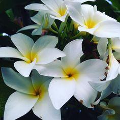 Fim de tarde..... ☀️#imbituba #sc #jasmim #jasminum #flores #brasil #brazil #verao #praia #nature #natureza #frangipani