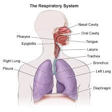 Structure of the human respiratory system explicated with diagrams respiratory system ccuart Gallery