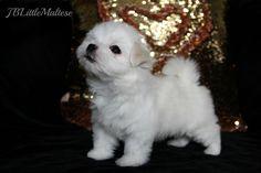 Maltese puppy of JBLittleMaltese Reg'd! Purebred Canadian Registered Maltese from breeders of top show dogs. www.jblittlemaltese.com