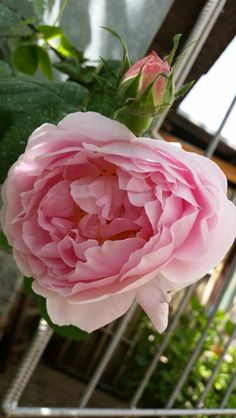 """Rosa """"Constance spry """""""