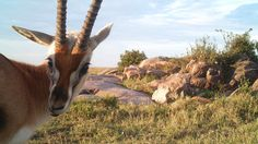 Images of some of the wildlife spied with automatically triggered cameras deployed by researchers.  This is a series of Serengeti animal selfies from an LA TIMES article.  Be sure to see all of them!