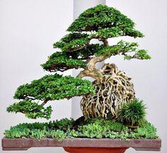 Bộ sưu tập Bonsai đẹp Thế Giới !