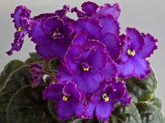 Midnight Rascal ( Sorano).   Очень яркий и нарядный сорт. Довольно крупные полумахровые, темно-синие цветы возвышаются на высоких, крепких цветоносах над розеточкой. Каждый лепесток украшен широкой малиновой оборчатой каймой.Розетка компактная, листочки средне-зеленые, овальные, стеганые, растут ровными рядами. Цветет охотно, довольно часто. Любит яркий свет. полумини (Чужое фото)
