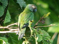 The Dusky-headed Parakeet (Aratinga weddellii) is a small green Neotropical parrot with dusty grey head found in wooded habitats in the western Amazon Basin of South America. This long-tailed species is generally green in color with a gray-brown head, a blue-tipped tail, & remiges that are dark gray from below, mainly blue from above. The bill is black, & it has a broad bare white eye-ring. With an average length of 25–28 cm (10–11 in) & a weight of about 100 grams
