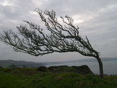 cornish windswept tree - Google Search