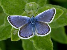 Silver-studded Blue butterfly http://incornwall.info/falmouth/falmouth-wildlife/falmouth-butterflies/