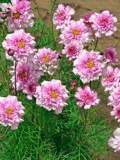 Cosmos 'Double Click Bicolor Pink'.