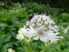 witte bloeiende vaste planten - Google zoeken