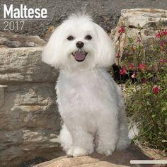 Avonside Hunde-Kalender 2017Avonside Hunde Wandkalender 2017: Malteser