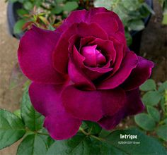 Rosa 'Intrigue' aka Hybrid Tea Rose 'Intrigue' • hardy to -10 degrees, deep…