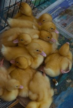 5-day-old ducklings