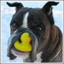 No, I have not seen your duck!