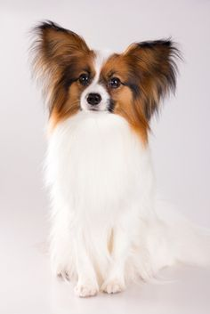 Papillon - This is probably similar to what my new pup will look like when fully grown!