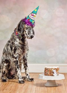 Puppy dog cake smash. Pet portrait. Dog portrait. English Setter. www.pouka.com