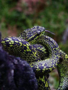 Bothriechis nigroviridis Reptile Bothriechis nigroviridis is a venomous pit viper species found in the mountains of Costa Rica and Panama. No subspecies are currently recognized. Wikipedia Scientific name: Bothriechis nigroviridis Rank: Species Higher classification: Bothriechis
