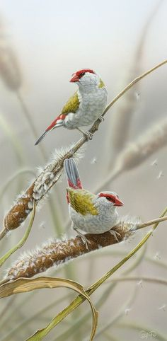 Red-Browed Firetail Finches by  Christopher Pope