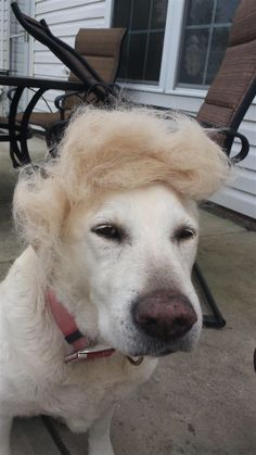 A suspicious dog: Animal Memes, Funny Animals, Cute Animals, Dog Halloween Costumes, Pet Costumes, Donald Trump Hair, Trump Photo, Best Funny Pictures, Haha
