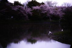 Sakura Reverie Photo by S. Ohtani — National Geographic Your Shot Cherry Blossom Pictures, Cherry Blossom Japan, Cherry Blossom Season, Cherry Blossoms, Places Around The World, Around The Worlds, National Geographic Travel, Sakura, Made In Japan