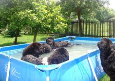 They love to swim, and will lie in water if they get the chance.   #newfoundlanddogs