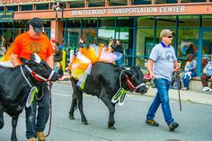 The Strolling of the Heifers is a major annual event in Vermont. Cows get dressed up and walk down Main St and here is a look at why this event is awesome.
