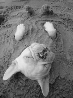 A French Bulldog keeping cool under the sand.