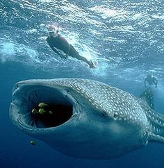 Whale Sharks! You would think those three little fish had some warning...