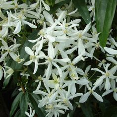 Clematis Armandii One of the best evergreen climbing clematis with majestic lance shaped waxy leaves.  The real highlight of this plant is the strong scented flowers in early spring. Plant this climber where you can enjoy the scent. Prefer a sheltered spot away from the wo