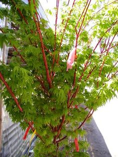 Sango Kaku is known for its striking red bark in the fall and winter.The leaves are mostly green with reddish and pinkish tinges when unfolding, becoming medium green in summer. Sango Kaku is a very attractive small to medium size tree.