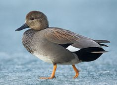 Gadwall (a quietly elegant duck. The white square in the wing is its best field mark)