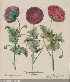Double Poppies, Basilius Besler, Hortus Eystettensis, 1613