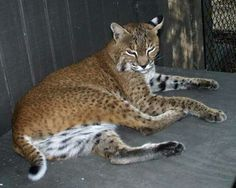 Bobcat with a  long tail.