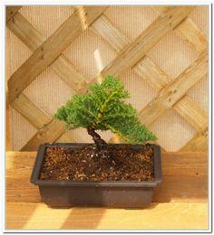 Styling The Juniper Procumbens   A Six Part Series Of Before And After  Styling For Beginners   Juniper #1. Bonsai TreesMini GardensJuniper ...