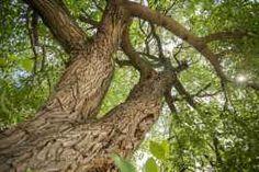 La Cina, dove gli alberi secolari si possono vendere In Cina, lo sradicamento e successivo trapianto di alberi secolari è un'industria seria quanto indiscriminata: i progettisti, infatti, non si preoccupano quasi mai che il nuovo clima sia adatto alla  #fotografia #alberi #sradicare #natura