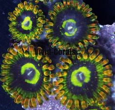 Atomic Fire Zoanthid:  live corals sps lps zoas, palys palythoas zoanthids