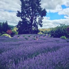 get lost in the lanes of lavender @ Lauren's Lavender Farm when 8 thousand plants bloom from the end of December until early March. Taken by @colleen.fahey #Taumaranui #Ruapehu #NewZealand #itsTime2Go!