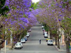 Uruguay Montevideo Jacarandá