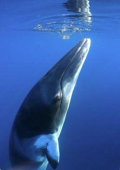 Minke whale near the ocean surface.