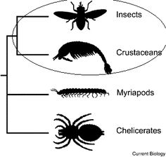 Sister groups are defined as  groups of the same taxonomic rank resulting from the splitting of an ancestral lineage, Here you can see that Insects and Crustaceans are closer to each other than either are to myriapods (centipedes/millipedes) and chelicerates(Most members of the subphylum Chelicerata belong to the class Arachnida, containing the spiders, scorpions, ticks, and mites)