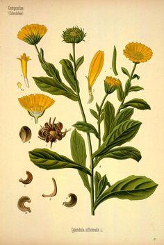 Köhler's Medizinal-Pflanzen - Brandt, Wilhelm, b. 1879