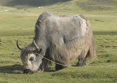 Yak farming in Tibet.