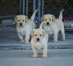 labrador retriever puppies Just look at this cute labrador retriever puppies! Labradors are the cutest dogs in the world! We have got beautiful handcrafted accessories an Labrador Retrievers, Retriever Dog, Golden Retriever, Beautiful Dogs, Animals Beautiful, Cute Puppies, Cute Dogs, Rottweiler Puppies, Cute Baby Animals