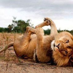 Lion Beautiful Animal Photography Wildlife - He's doing the happy baby pose!