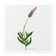 Lavender, rejuvenece, repara la piel, calma la irritación e inflamación y proteje las células