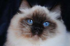 Ragdoll cats and kittens Photo Gallery. Ragdoll cat breeders in Ohio. Ragdoll Cat Breeders, Ragdoll Cats, Bengal Cats, Pretty Cats, Beautiful Cats, White Kittens, Cats And Kittens, Teacup Persian Cats, Munchkin Kitten